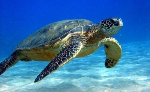 sea turtle in Juno Beach